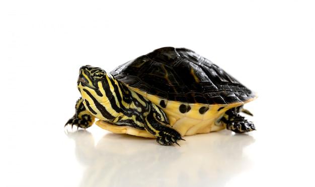 Langzaam huisdier. een schildpad die omhoog geïsoleerd op een witte achtergrond kijkt