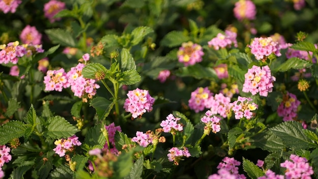 Lantara camara bloem in tuin californië usa. umbelanterna bloei, botanische bloesem. voorjaar