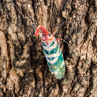 Lanternfly (lantaarninsecten) op boom