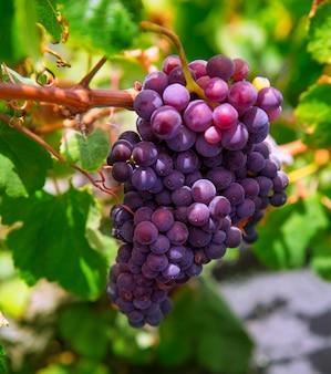 Lanzarote la geria-wijngaard op zwarte vulkanische grond