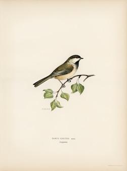 Lappmes (parus cinctus) geïllustreerd door de gebroeders von wright.