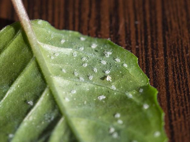 Larven van de witte vlieg op het blad van een roos. macro afbeelding.