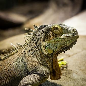 Latijnse naam: iguana iguana. maat 150 cm in totaal