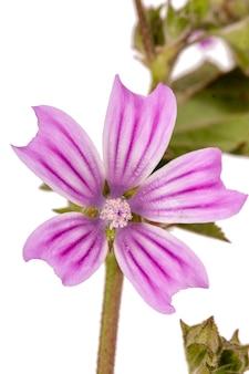 Lavatera cretica bloem