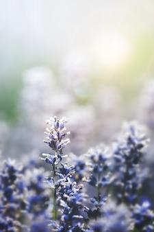Lavendel achtergrond