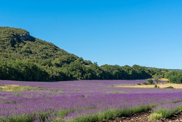 Lavendel bloem achtergrond op het gebied van de provence in frankrijk.
