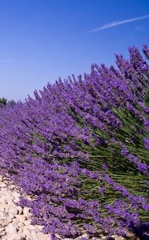 Lavendel bloem bloeiende geurende velden