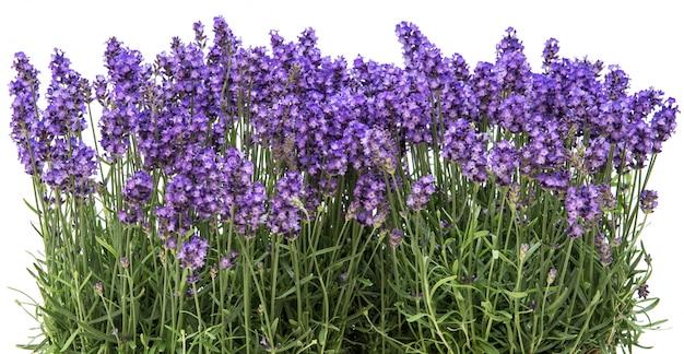 Lavendel bloemen bloemenrand wit