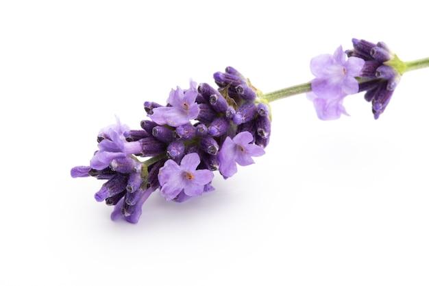 Lavendel bloemen bos gebonden geïsoleerd op een witte achtergrond.