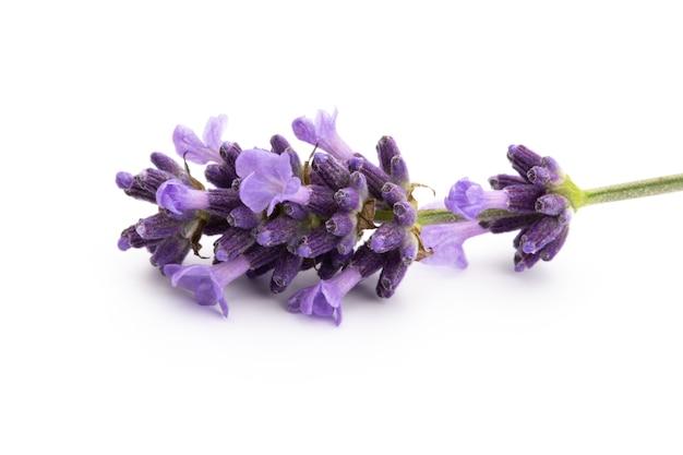 Lavendel bloemen bos gebonden geïsoleerd op een witte achtergrond