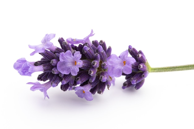 Lavendel bloemen bos gebonden geïsoleerd