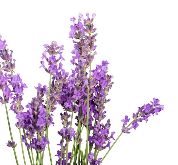 Lavendel bloemen geïsoleerd op witte achtergrond