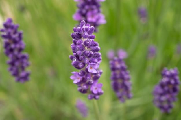 Lavendel bloemen in volle bloei