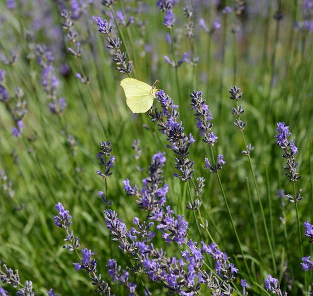 Lavendel bloemen met gele vlinder in een zachte focus.