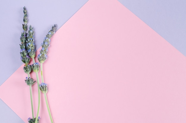 Lavendel bloemen op roze en paarse achtergrond