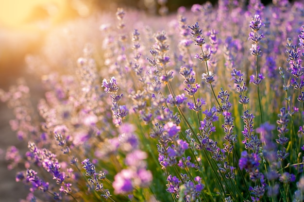 Lavendel bloemen zonsondergang over een zomer paarse lavendel veld achtergrond. bos van geurende bloemen in de lavanda velden.