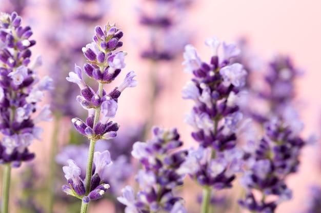 Lavendel bloemen.