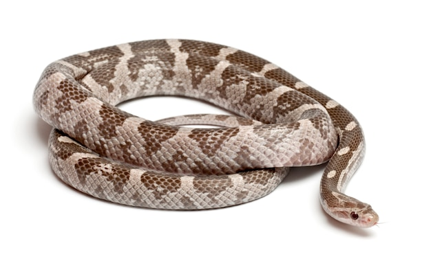 Lavendel corn snake of red rat snake pantherophis guttatus geïsoleerd