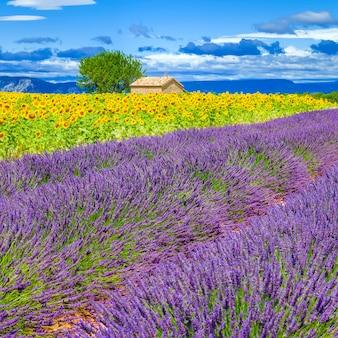 Lavendel en zonnebloem veld met boom in frankrijk