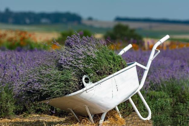 Lavendel in een kruiwagen, lavendelveld, kunstmatige reproductie van lavendel