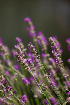 Lavendel in het zonlicht