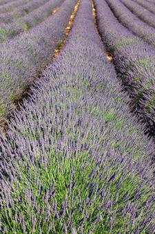 Lavendel lijn veld
