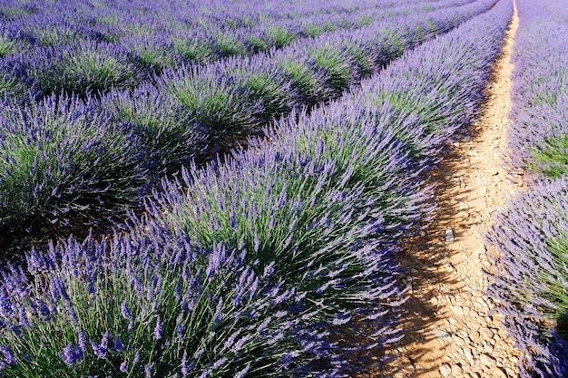 Lavendel rij
