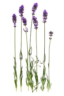 Lavendel stam geïsoleerd op een witte achtergrond