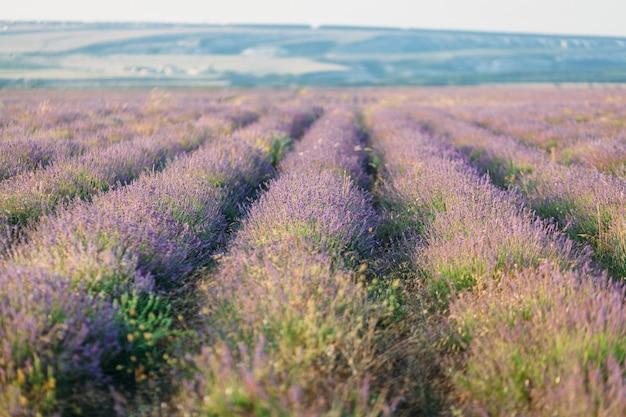 Lavendel veld afbeelding met een kleine scherptediepte