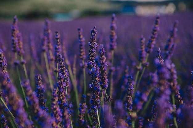 Lavendel veld close-up kopie ruimte