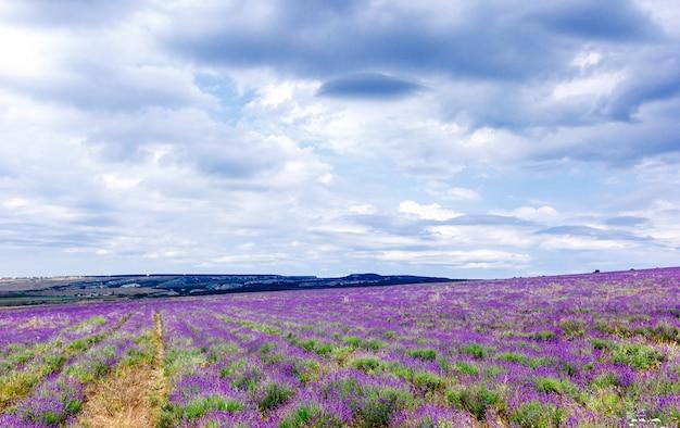 Lavendel veld in bewolkt weer met regenwolken