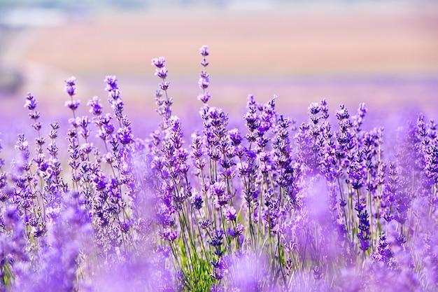 Lavendel veld landschap