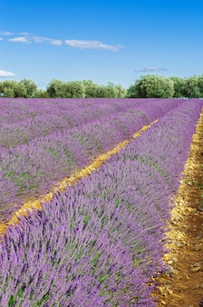 Lavendel veld met blauwe hemel, frankrijk, europa