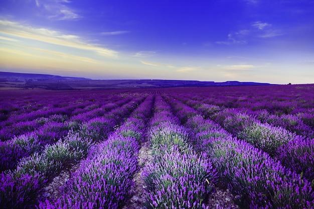 Lavendel veld na zonsondergang. geweldig zomer landschap.