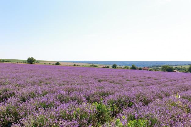Lavendel veld zonsondergang en lijnen