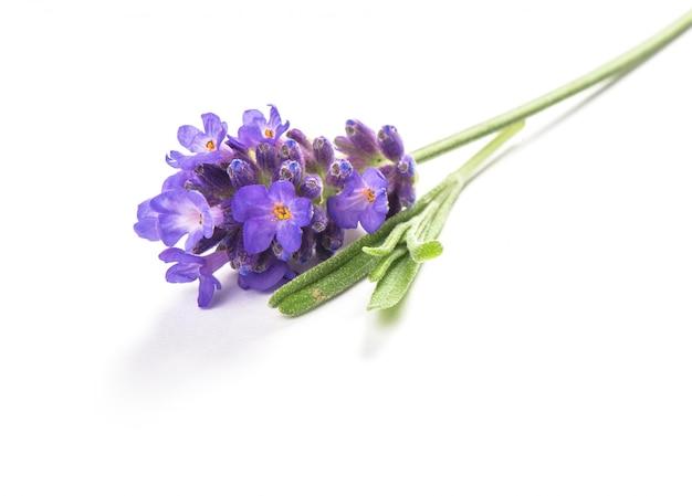 Lavendelbloem op wit macrobeeld wordt geïsoleerd dat