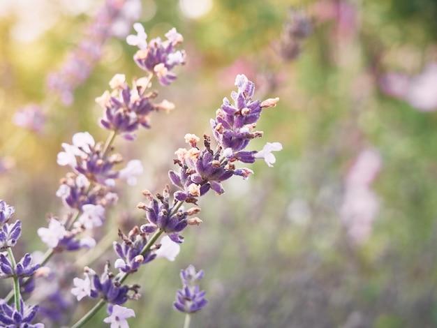 Lavendelbloemen bij zonsonderganglicht, close-up.