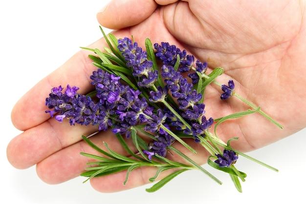 Lavendelbloemen bloeien geïsoleerde lavendelbloem geïsoleerd