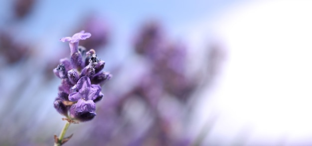 Lavendelbloemen in japan. lavendelbloemen bloeien met een paarse kleur en een goede geur om te ontspannen in het zomerseizoen. bloeiende lavendel aan de furano-noordkant van hokkaido japan.