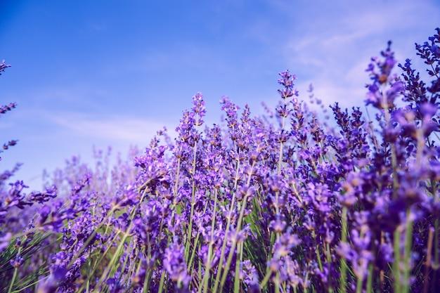 Lavendelgebied op de de zomerachtergrond