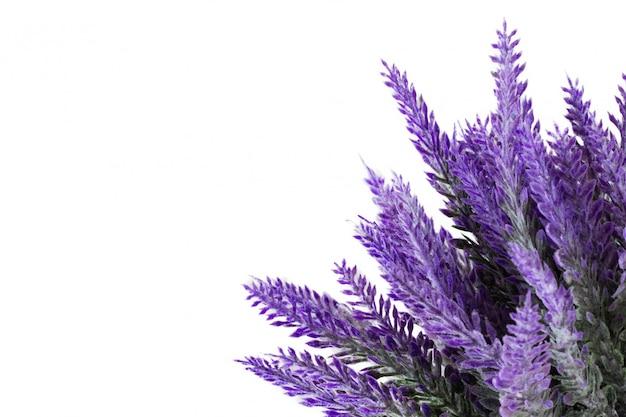 Lavendelinstallatie op witte achtergrond wordt geïsoleerd die