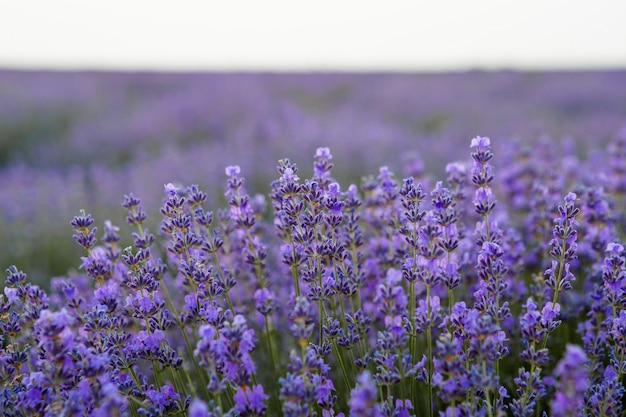 Lavendelstruik groeit op lavendelgebied