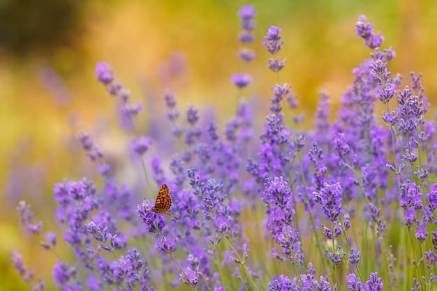 Lavendelstruiken met een vlinder