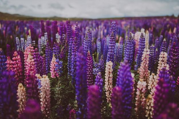 Lavendeltuin in nieuw-zeeland onder een bewolkte hemel