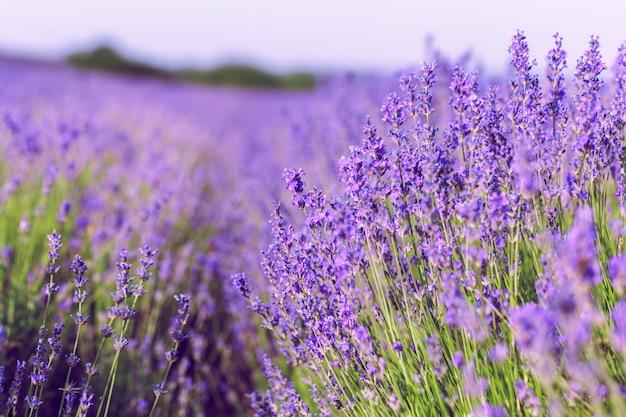 Lavendelveld in de zomer