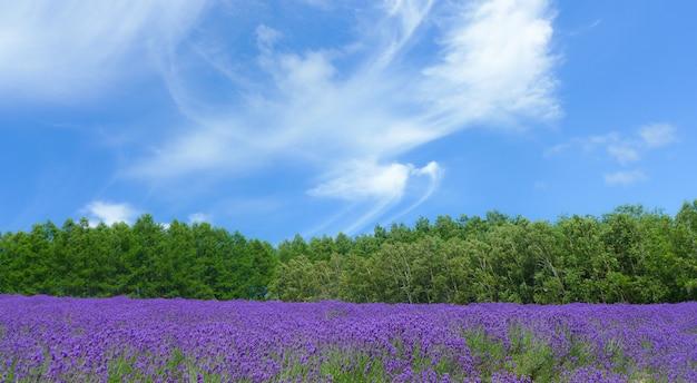 Lavendelveld, natuur in japan