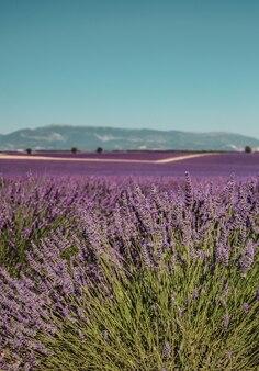 Lavendelvelden en landelijk pad op een berg- en bosachtergrond in de provence, frankrijk