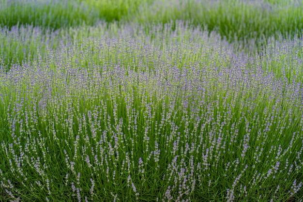 Lavendelvelden en macrobloemen in de zomer, transnistrië, moldavië, close-up