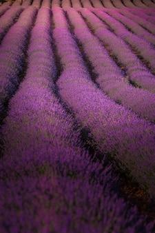 Lavendelvelden in brihuega, guadalajara, spanje.