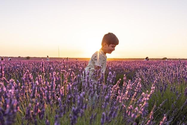 Lavendelvelden in de schemering voordat ze worden geoogst in de stad brihuega.
